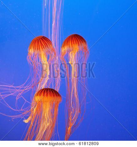 Three picturesque red-orange jellyfish in the aquarium. Dark-blue water beautifully lit