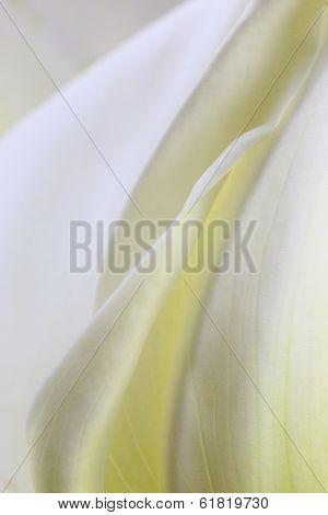 Macro shot of white calla lilies