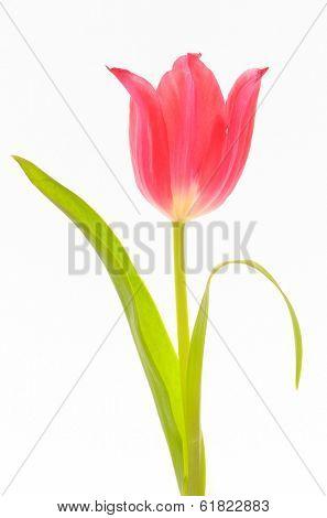 tulips single on white background