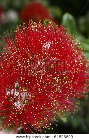 Flowers Of The Pohutukawa Tree (metrosideros Excelsa)