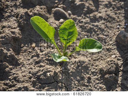 Sugar Beet Plant (beta Vulgaris Subsp. Vulgaris)