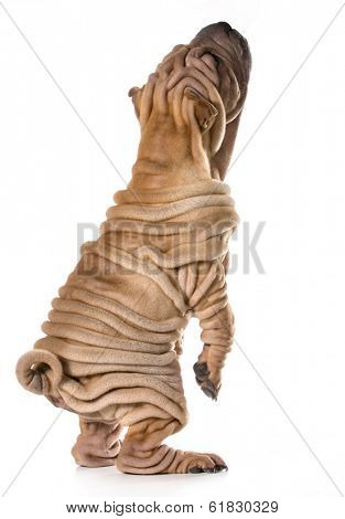 dog begging - chinese shar pei puppy standing on back legs isolated on white background