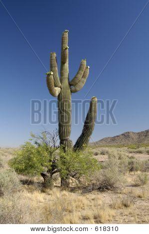 Desert Bloosoms