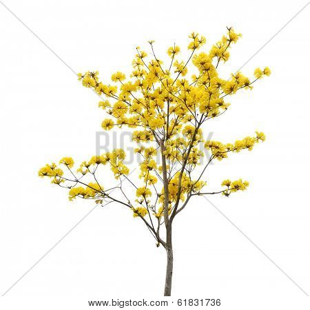 Tabebuia chrysotricha yellow flowers blossom in spring