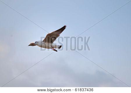Brown Headed Gull On Flying