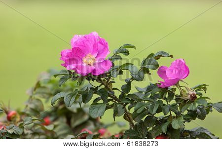 Dogrose In The Summer