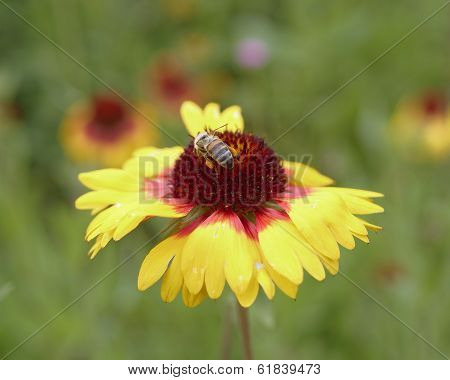 honeybee pollinating a yellow flower