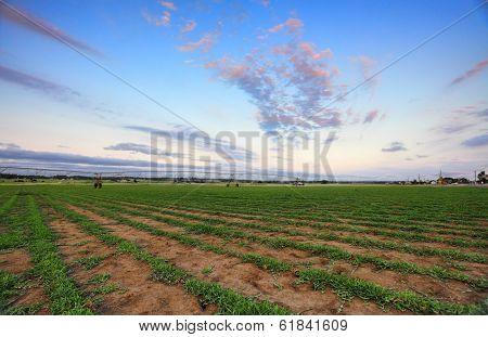 Turf Farm - Buffalo Grass