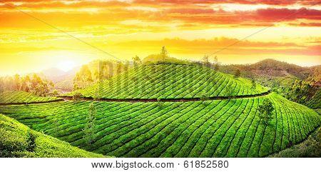 Tea Plantation Panorama