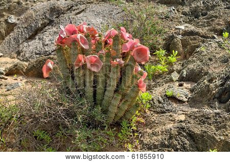 Hoodia In Flower