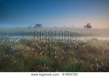 Misty Summer Sunrise Over Marsh With Cotton-grass