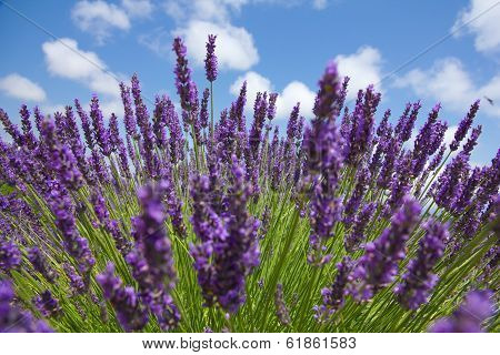 Close Up Of Purple Lavender In Front Of Picturesque Sky. Sommer Concept.