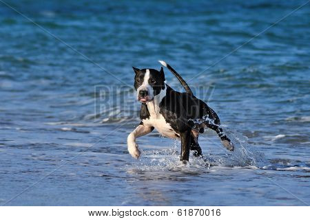Pitbull runs along the sea beach.