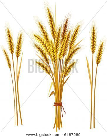 Spike of golden wheat and spikelet