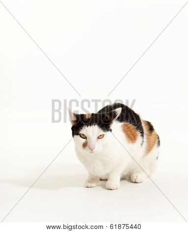 Calico Cat Getting Grumpy
