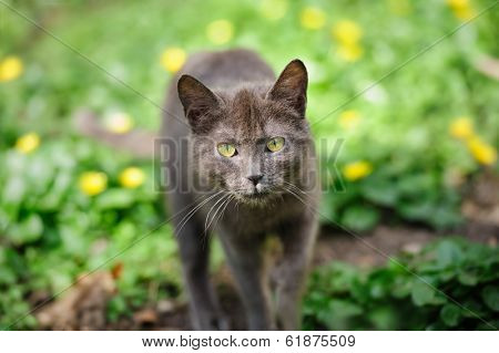 stray grey kitten cat  sneaking on the green grass