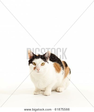 Calico Cat At an Angle