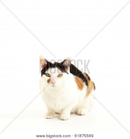 Calico Cat Looking slightly to the side