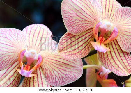 Orchid Flower (with Copy Space In Left Upper Corner)
