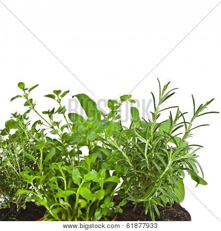 Useful herbs close up  in flower pot i isolated on white background