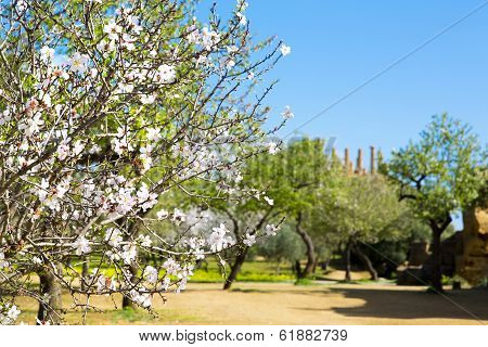 Almond Tree And Temple Of Juno