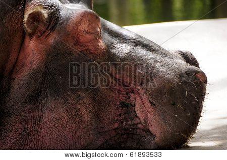 Profile Of A Hippopotamus