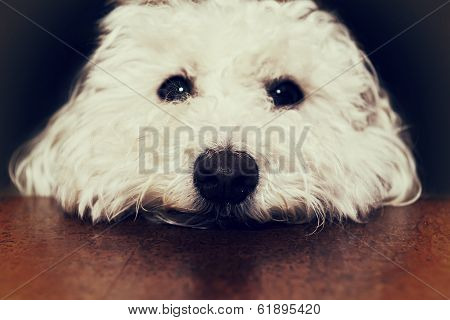 Bichon Close Up - Retro