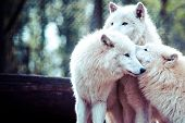 stock photo of horrific  - Arctic white wolf in vienna zoo - JPG