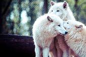 foto of horrific  - Arctic white wolf in vienna zoo - JPG