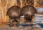 foto of wild turkey  - Strutting male wild turkey displaying in the spring mating season.