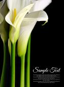 stock photo of funeral  - Beautiful white Calla lilies with reflection on black background - JPG