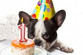 picture of ear candle  - French bulldog on his first birthday with doggy cake  - JPG