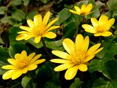 image of marshes  - marsh marigold first spring flowers - JPG