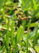 Halloween Pennant Dragonfly in the Grass