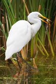stock photo of long-legged-birds  - Great White Egret Catching a large fish