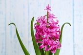 Beautiful pink hyacinth flower on color wooden background