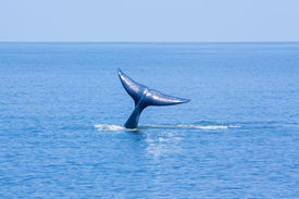 image of whale-tail  - Tail whale swimming in the ocean - JPG