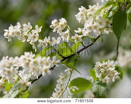 flower of bird-cherry after rain