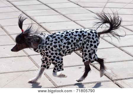 Chinese Crested Dog On A Walk In Clothes