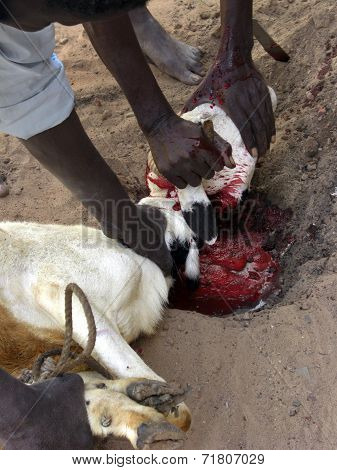 Slaughtering A Goat In A Ritual Sacrifice.