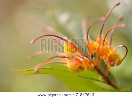 Close-up Of Australian Wildflower Grevillea Venusta