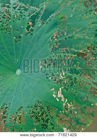 Autumn lotus close-up