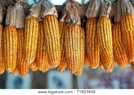 Ripe dried corn cobs hanging