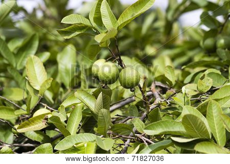 Close-up of ripe guava hanging from the tree