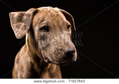 Portrait of a cute puppy pitbull