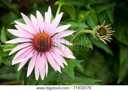 Echinacea - A Medicinal Plant, Traditional Medicine