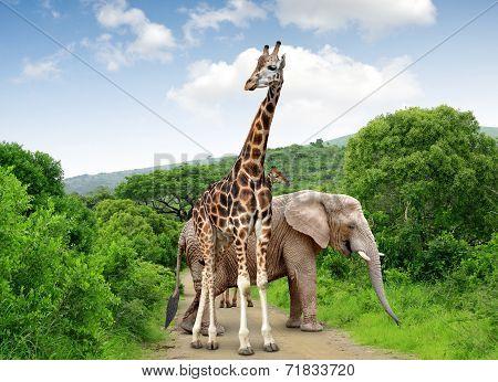 Giraffe and elephant