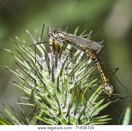 two mosquitoes mating