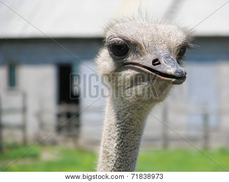 Head Of Ostrich