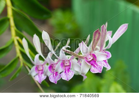Dendrobium orchid flower